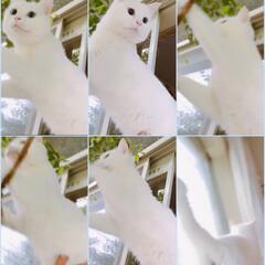 窓/ペット 最近マロは 朝に窓を開ける時、外の木に登…