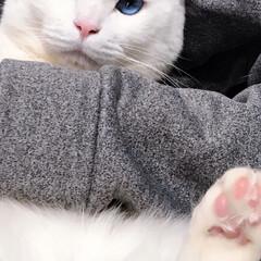 猫との暮らし/ねこと暮らす ドヤ顔でにくきう見せびらかし✨