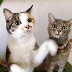 marimekko/ファブリックパネル手作り/ねことの暮らし/ねこと暮らす/猫との暮らし 草欲しいの舞 🎶 チントンシャ~ン(2枚目)