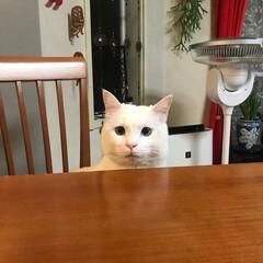 白猫マロたん/猫と暮らす 晩ごはんくれなかったニャ?! と不満顔〜…