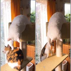 キャットタワー/猫と暮らす/ペット 今日もマロたんは先輩にちょっかい出して逃…
