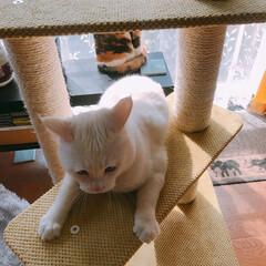 キャットタワー/猫と暮らす/ペット ビビるマロたんと絶対怖い顔してるパフェ姉…