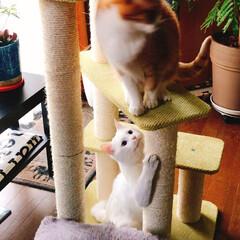 キャットタワー/白猫マロ/猫と暮らす/ペット ペコ兄と遊びたいなぁ〜 🎵