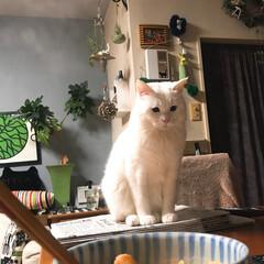 少しください/猫と暮らす 私の朝ごはんを 熱く見つめるマロたん👀✨✨