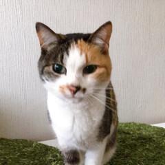 猫との暮らし/ねこと暮らす/猫/ねこ/ねこあくび アクビ途中で目を開ける 怖いパフェ姐さん(5枚目)