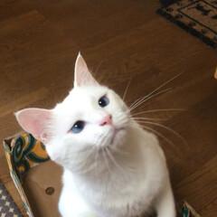 猫と暮らす/ペット マロたん遊んでたらドリルー!