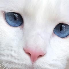土アップ祭/猫と暮らす/ペット ではマロたんのドアップを❤️(1枚目)