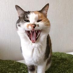猫との暮らし/ねこと暮らす/猫/ねこ/ねこあくび アクビ途中で目を開ける 怖いパフェ姐さん(1枚目)