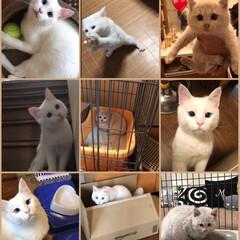 しろねこ/ウチのコ記念日/猫と暮らす マロたんを保護してちょうど今日で1年! …