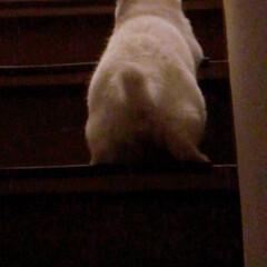 ねことの暮らし/ねこと暮らす/階段 マロたん仔猫の頃。先輩ニャンを待ち伏せ🎵…(6枚目)