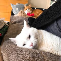 ソファー用ホカペ/猫と暮らす/ペット 眠くてぼんやりマロたん まだホカペいるな…