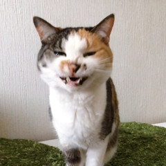 猫との暮らし/ねこと暮らす/猫/ねこ/ねこあくび アクビ途中で目を開ける 怖いパフェ姐さん(4枚目)