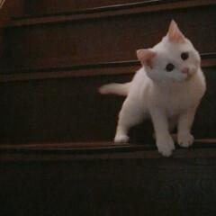 ねことの暮らし/ねこと暮らす/階段 マロたん仔猫の頃。先輩ニャンを待ち伏せ🎵…