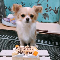 一歳バースデー/チワワロング/LIMIAペット同好会/ペット/ペット仲間募集/犬/... 今日、3月18日、真剣、1歳になりました…