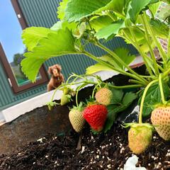 収穫/裏庭/庭/自給自足/お野菜/家庭菜園/... お野菜がどんどんできてます♡ カラスに狙…