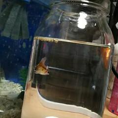 金魚/ペット 新しく仲間入りの金魚。 わが家の金魚は4…