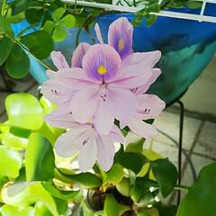 花/玄関 ホテイアオイが咲きました。