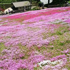 芝桜/おでかけ 芝桜じゅうたん