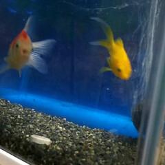 金魚/ペット 新しく金魚を迎えました。