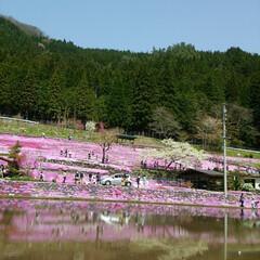芝桜/ペット/おでかけ 去年の郡上の芝桜 今年も行きます。