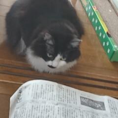 猫トンネル短いバージョン/ペット/ハンドメイド/猫/にゃんこ同好会/うちの子自慢 猫トンネル🐈🎵短いバージョン作りましたが…(6枚目)