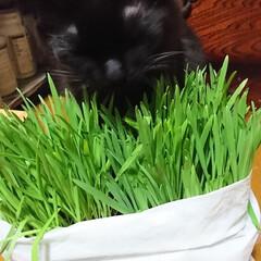猫🐱/猫草/七夕を楽しもう/スタミナ丼/夏に向けて/スタミナご飯/... こんばんは🤗 ニャンズ🐱のために、自家製…
