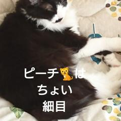 😪💤💤/ピーチ🐈クッキー🐈/仲良し💙/ペット/猫/にゃんこ同好会/... 「ママは今日、忙しそう💦💦」 「私達はま…(3枚目)
