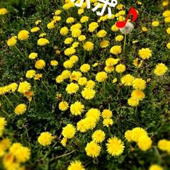 タンポポ/春のフォト投稿キャンペーン/ありがとう平成/令和の一枚/GW/風景/... 今日は北海道冷え冷え💦 またまた、ストー…