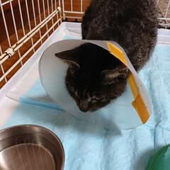 保護にゃんキジトラ 3日前に保護をしたキジトラ猫さん🐈 無事…(4枚目)