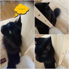 ママかまって❗/ストーカーくーちゃん!/黒猫/ペット 相変わらずくーちゃん!朝からストーカー(…