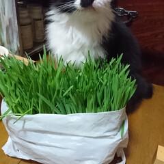 猫🐱/猫草/七夕を楽しもう/スタミナ丼/夏に向けて/スタミナご飯/... こんばんは🤗 ニャンズ🐱のために、自家製…(3枚目)