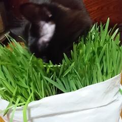 猫🐱/猫草/七夕を楽しもう/スタミナ丼/夏に向けて/スタミナご飯/... こんばんは🤗 ニャンズ🐱のために、自家製…(6枚目)
