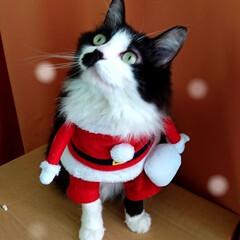 ピーチ/クリスマス⛄🎄✨/ペット/猫/クリスマス メリークリスマス⛄🎄✨ そんなに季節にな…