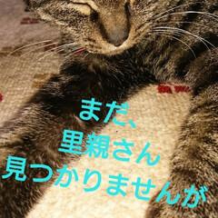 キジトラ猫ちゃん/しらす/にゃん倶楽部/保護にゃん🐈/リミアの冬暮らし 10月に保護した、しらす🐱 まだ、里親さ…(3枚目)