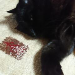黒猫 くーちゃん!は目をつぶると、ただの黒い毛…