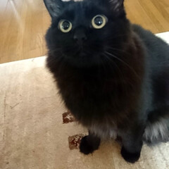 好きすぎて❗/ママ〜/黒猫/ペット/猫 くーちゃん🐈の、この眼差しがお気に入り💕