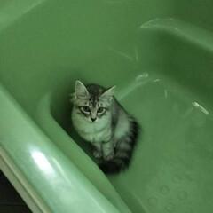 空くん🐈/ペット/猫/にゃんこ同好会/おうち 保護にゃん🐈空くん、お風呂まだ、お湯入っ…