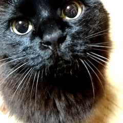 わかったよ/ママ大好き💕/黒猫/ストーカーくーちゃん!/ペット/猫 くーちゃん!今夜もママのストーカー.🤗 …