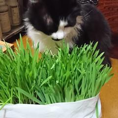 猫🐱/猫草/七夕を楽しもう/スタミナ丼/夏に向けて/スタミナご飯/... こんばんは🤗 ニャンズ🐱のために、自家製…(2枚目)
