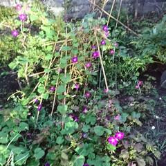 ど根性あさがお/大地震/北海道 今日も無事終わりました。 ふと、庭見ると…