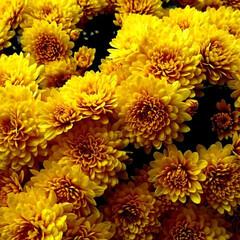 秋の花/菊/秋 二連発‼️菊✨黄色も素敵ですね🎵