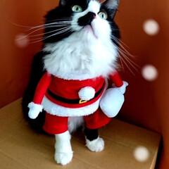 ピーチ/クリスマス⛄🎄✨/ペット/猫/クリスマス メリークリスマス⛄🎄✨ そんなに季節にな…(2枚目)