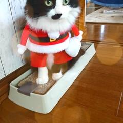 ピーチ/クリスマス⛄🎄✨/ペット/猫/クリスマス メリークリスマス⛄🎄✨ そんなに季節にな…(3枚目)