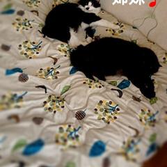 😪💤💤/ピーチ🐈クッキー🐈/仲良し💙/ペット/猫/にゃんこ同好会/... 「ママは今日、忙しそう💦💦」 「私達はま…(4枚目)