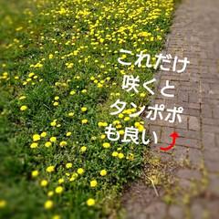 タンポポ/春のフォト投稿キャンペーン/ありがとう平成/令和の一枚/GW/風景/... 今日は北海道冷え冷え💦 またまた、ストー…(2枚目)