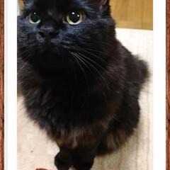 ストーカー猫ちゃん/くーちゃん!/黒猫/ペット くーちゃん!今夜もママの側に「イン‼️」…