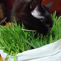 猫🐱/猫草/七夕を楽しもう/スタミナ丼/夏に向けて/スタミナご飯/... こんばんは🤗 ニャンズ🐱のために、自家製…(5枚目)