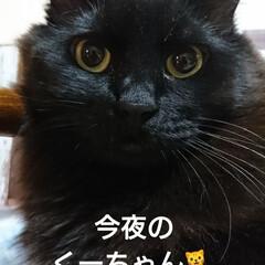 ペット仲間募集/猫/うちの子ベストショット くーちゃん🐈は今夜もママロックオン💯