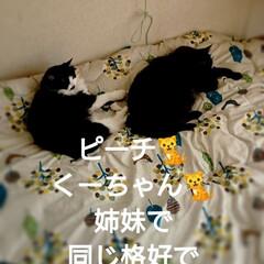 😪💤💤/ピーチ🐈クッキー🐈/仲良し💙/ペット/猫/にゃんこ同好会/... 「ママは今日、忙しそう💦💦」 「私達はま…