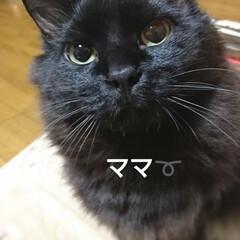 ママロックオン/クッキー🍪/フォロー大歓迎/ペット/ペット仲間募集/猫/... 仕事から帰って・・・・ この眼差しでママ…